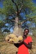 Harvesting Baobab fruit.jpg