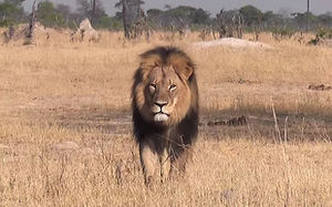 Cecil the lion in 3388298b.jpg